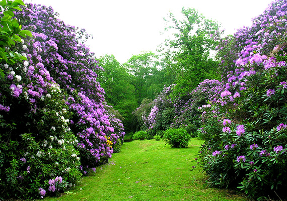 The rhododendrons path